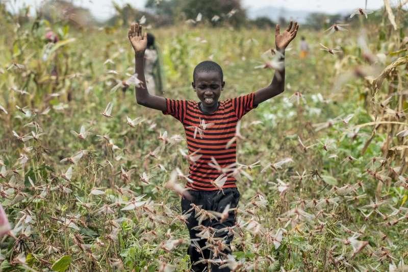 東非爆發蝗害,可能加劇糧食不足狀況。(AP)