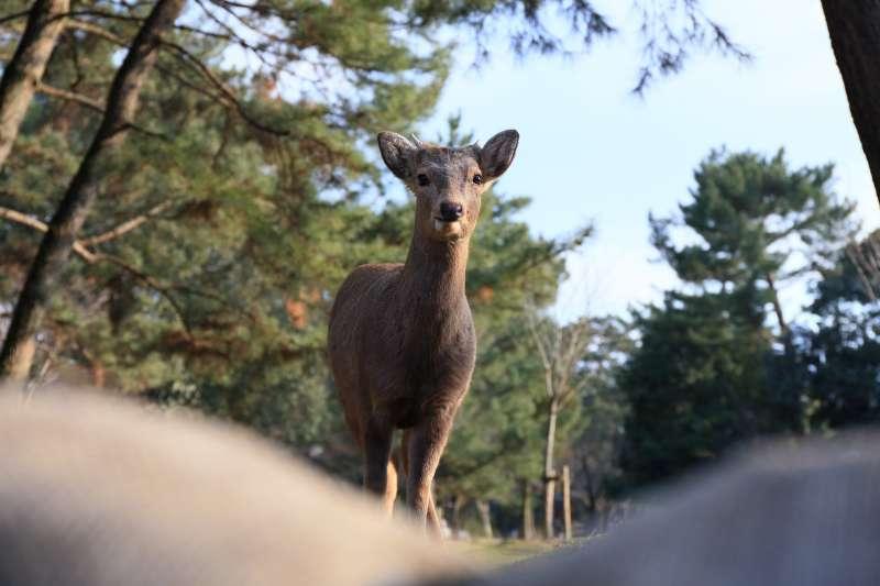 在二戰期間及戰後一段時期,奈良人缺乏食物充飢,盜獵及過度捕捉奈良鹿的行為因而橫行,令這些理應神聖不可侵犯的「神鹿」,一度面臨滅絕危機。(圖/取自flickr)