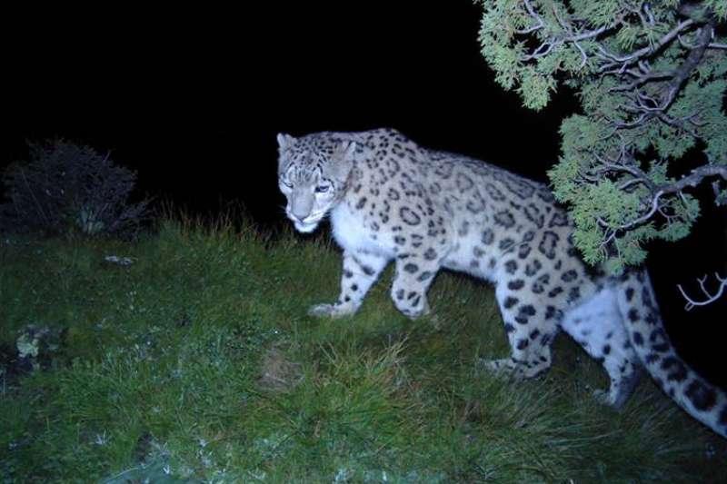 科研工作者在青海玉樹用紅外相機拍攝到的雪豹。(新華社)