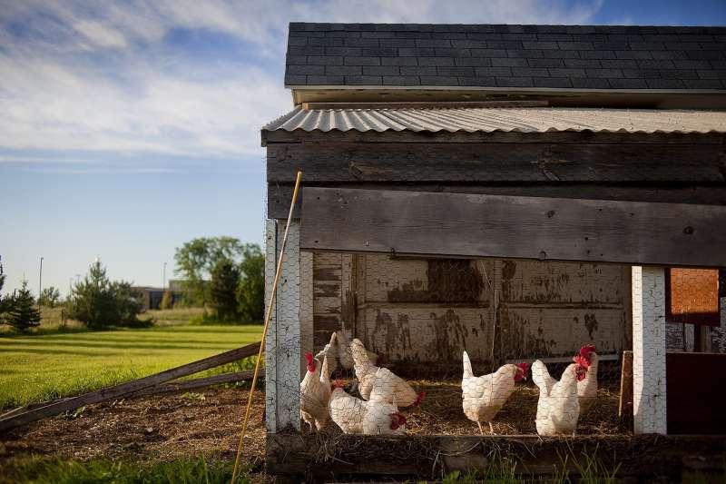 鳥類與家雞屬於雜食性動物,一方面要防範天空中的猛禽,同時也要躲避地面上的野獸及蛇類,因此與多數的草食動物一樣僅擁有「淺睡眠」。(取自pixabay)