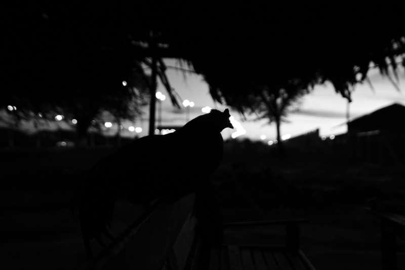 雞的作息乖巧,其實源自於牠們對黑暗的恐懼,因為雞有天生的夜盲。(取自Pixabay)