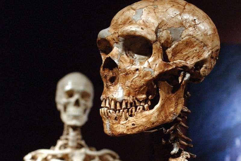 重建的尼安德塔人頭骨,展示於美國紐約自然史博物館(美聯社)