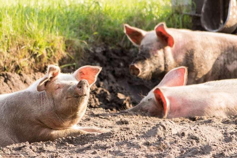 豬。(示意圖,取自pixabay)