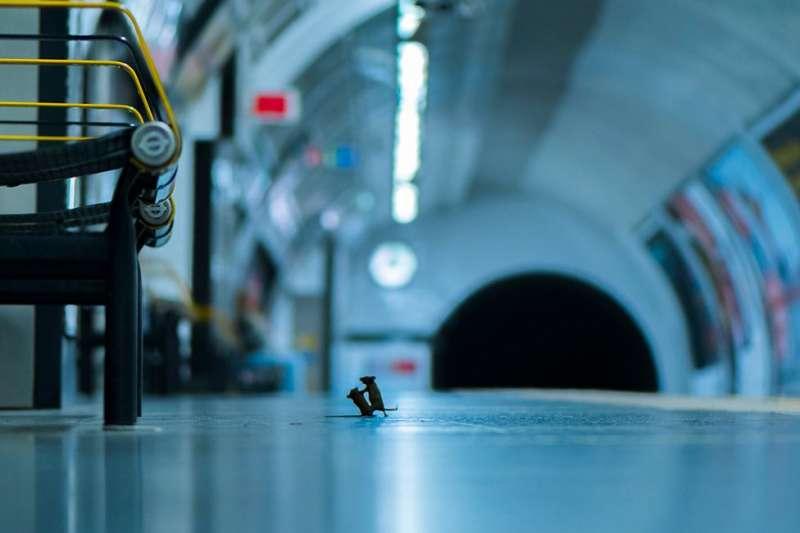 沒錯,就是這兩隻老鼠,攝影師山姆·羅雷(Sam Rowley)連著5個晚上在倫敦地鐵站台上盯著,終於等到你們......開打了。(BBC News 中文)