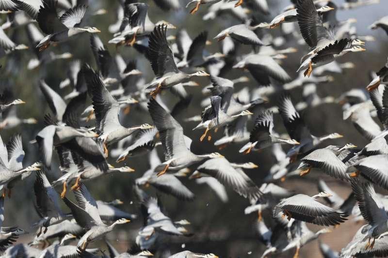 停留在印度的長程候鳥斑頭雁。(AP)