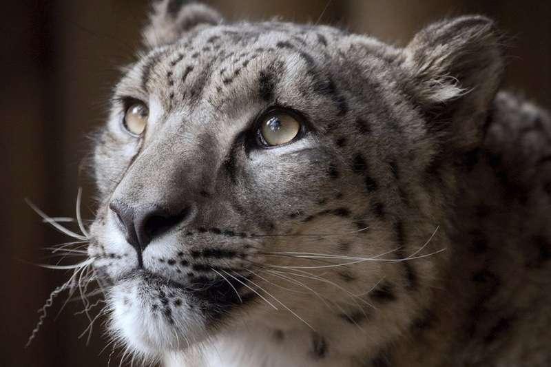 雪豹(資料照,AP)