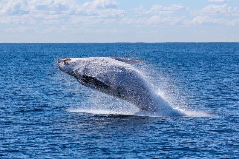 筆者指出,現代鯨魚除了遭受人類的獵捕威脅外,日趨惡化的海洋汙染與溫室效應也對鯨魚產生重大影響。(取自georgwolf@Unsplash)