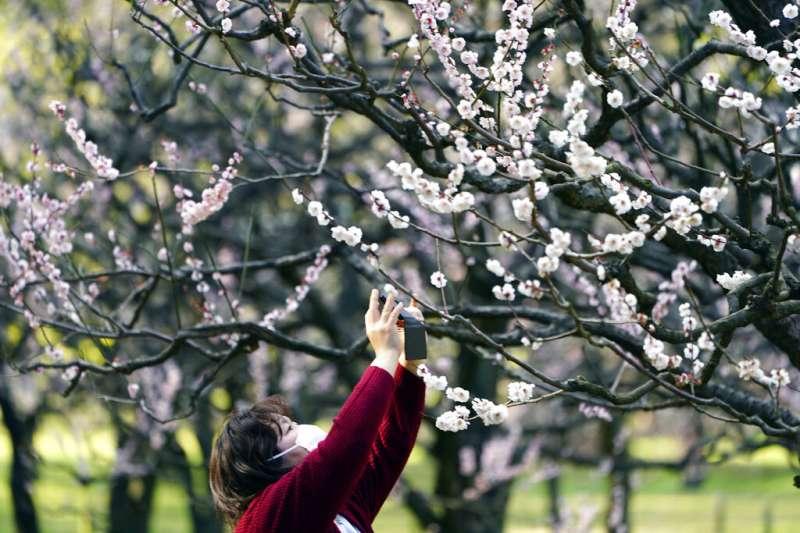 武漢肺炎疫情肆虐,日本的櫻花季恐怕也難帶來旅遊人潮。(美聯社)