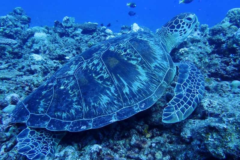 20200305-目前發現太平島上的海龜只有一種,都是綠纗龜,且成龜中,母的比公的多一倍。(中山大學提供)