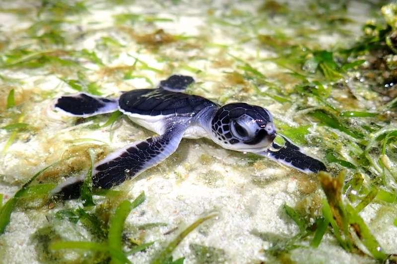 中山大學海洋科學系教授宋克義研究團隊透過空拍機,調查南海太平島周邊的海龜數量,推估太平島有上千隻海龜活動。(中山大學提供)