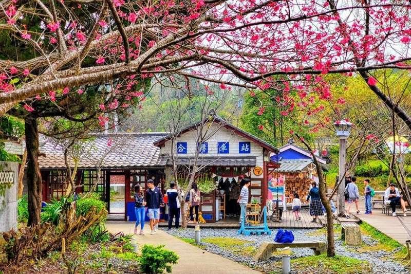 算好櫻花盛開的季節,即使沒能在內灣司馬庫斯順利賞櫻,來到這也能被粉紅幸福給包圍。。(圖/漂流木趴趴照授權竹縣好好玩使用)