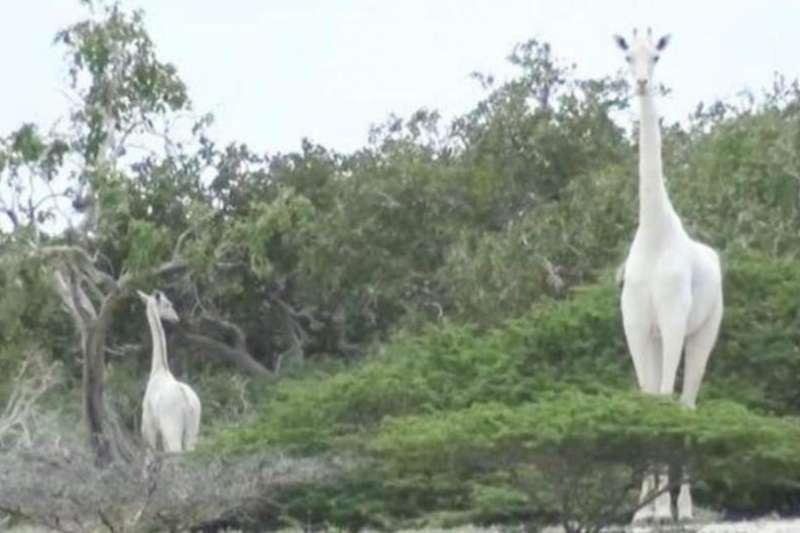 肯亞罕見的白變症長頸鹿母子,被證實遭盜獵者殺害而死。(節自影片)