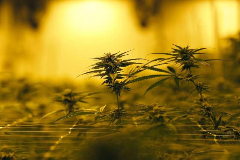 部分荷蘭人面對商店歇業的反應竟是先搶購大麻。(AP)