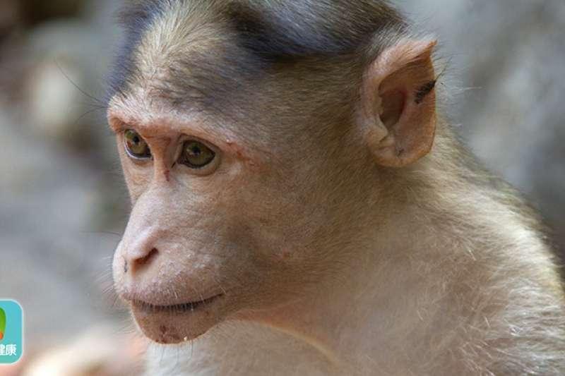 中國《財新網》報導1篇名為「恆河猴可通過眼結膜途徑有效感染新型冠狀病毒」研究,分析從眼角膜、氣管等不同感染途徑的雄性恆河猴發病後狀況。(圖/now健康)