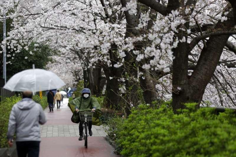 東京目黑川旁盛開的櫻花。(美聯社)