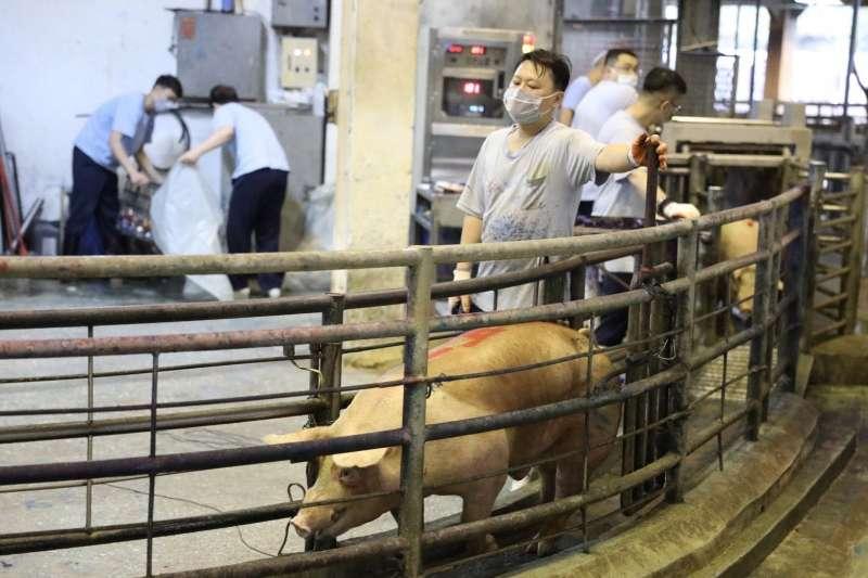 歷經23年防疫,等待1年審查,農委會15日表示,世界動物衛生組織(OIE)預計本周通知台灣改列口蹄疫不打疫苗非疫區。(資料照,新北市農業局提供)