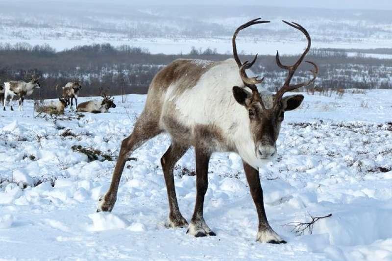 俄羅斯感染炭疽桿菌的馴鹿(示意圖,取自pixabay)