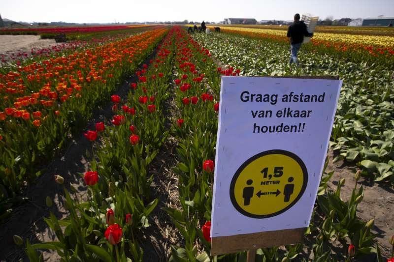 新冠肺炎:荷蘭鬱金香花田上呼籲民眾保持1.5公尺社交安全距離的看板(AP)