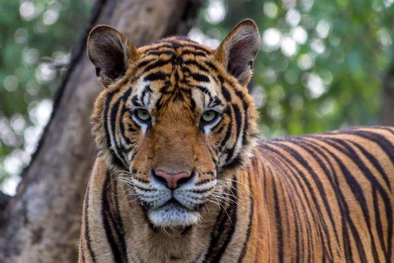 紐約傳出老虎確診。(示意圖/pixabay)