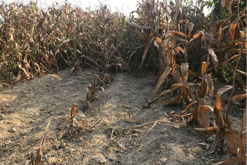 台南後壁一處玉米田被倒入不銹鋼爐碴,導致有的土壤光禿禿長不出玉米,有的玉米生長不良,快篩結果鉻含量最高已達2000ppm。(圖/台南社大提供)