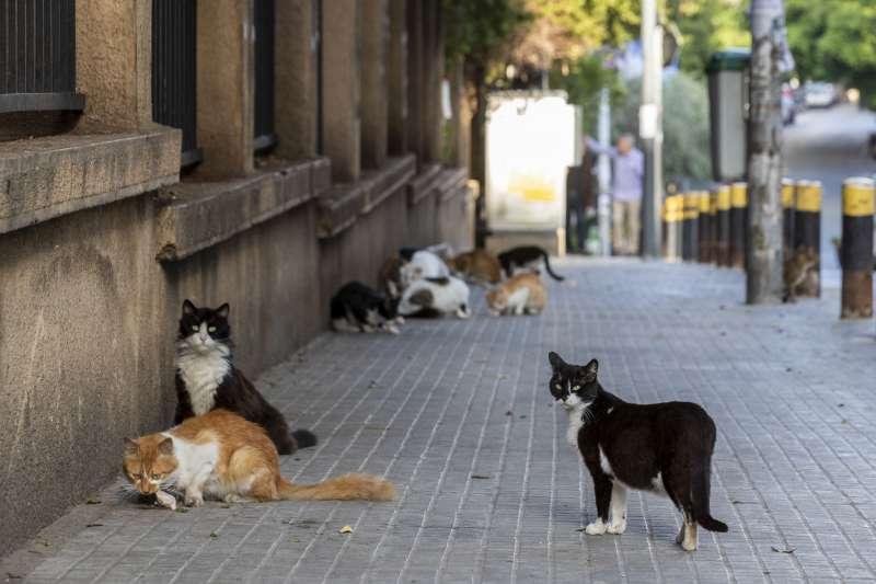 武漢肺炎:黎巴嫩街頭的野貓(AP)
