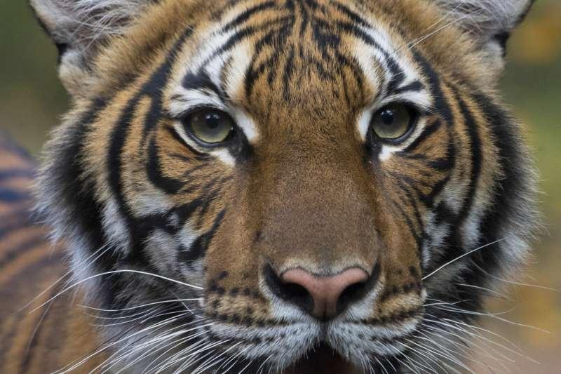 武漢肺炎:美國紐約布朗克斯動物園老虎確診感染(AP)