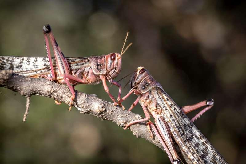 2020年,非洲東部蝗蟲為害,造成嚴重災情,印度也深受蝗蟲之擾。(AP)