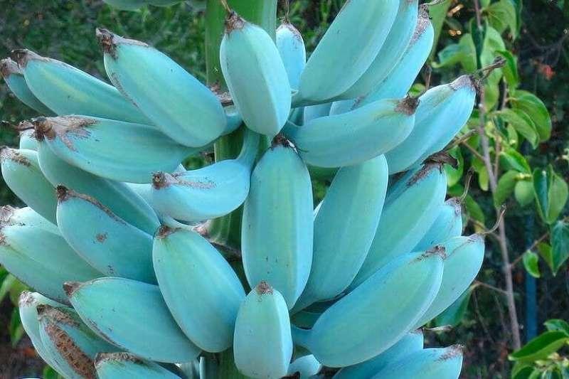 夏威夷人叫它做「冰淇淋香蕉」、斐濟人則稱為「夏威夷香蕉」。(圖/Twitter@pherado)
