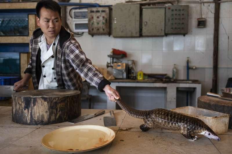 瀕危動物穿山甲,被許多華人視為美食(AP)
