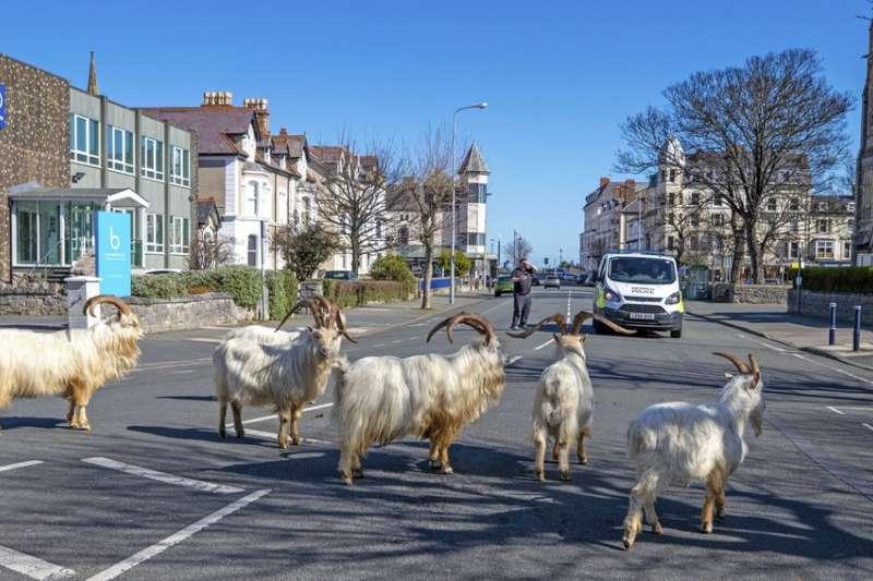 英國因應新冠肺炎疫情實施封鎖令,在威爾斯一處小鎮出現山羊逛大街的有趣場景(AP)