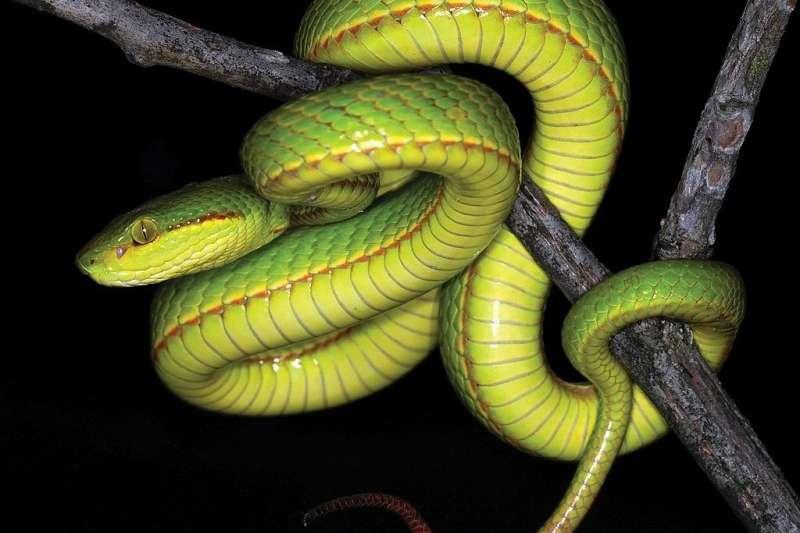 近日有科學家在印度發現一種新品種青竹絲,以《哈利波特》霍格華茲魔法與巫術學院的4個創辦者之一史萊哲林命名。(圖擷自《Zoosystematics and Evolution 》)