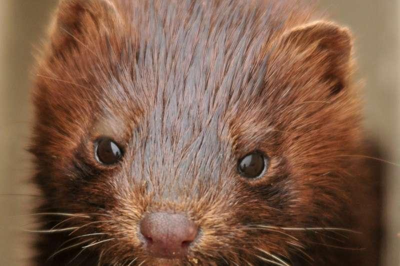 荷蘭南部2座皮草養殖場的水貂感染武漢肺炎(取自Pixabay)