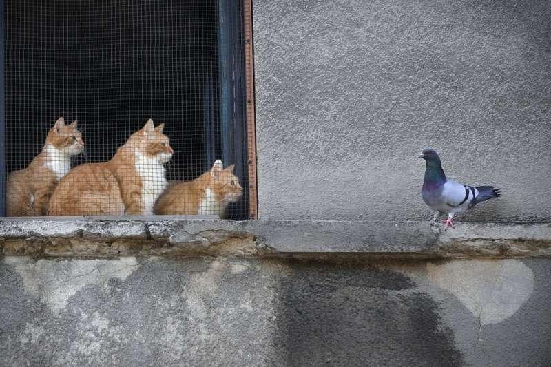羅馬尼亞的三隻橘貓正盯著一隻鴿子看。(美聯社)