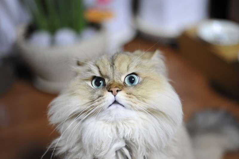 金吉拉貓。(圖/pixabay)