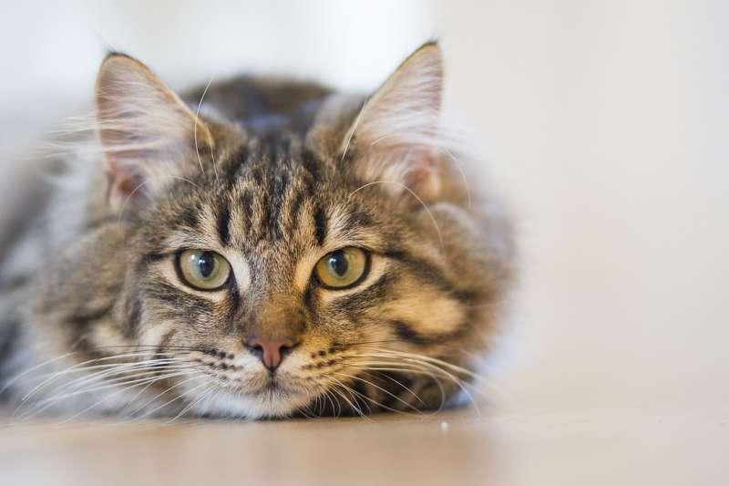 示意圖。貓咪(圖片取自Pixabay)