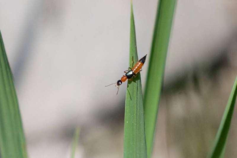 高市農業局提醒夏日到來,民眾擔心隱翅蟲出沒會造成自身傷害,其實隱翅蟲不會主動叮螫人類,且是一種生態益蟲,只要做好防範措施,不用太過恐慌(圖/小鵂鶹自然生態工作室提供)