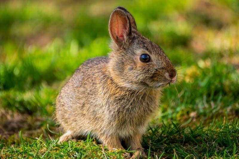 魯迅的寵物兔子也被貓吃了。(示意圖/pixabay)