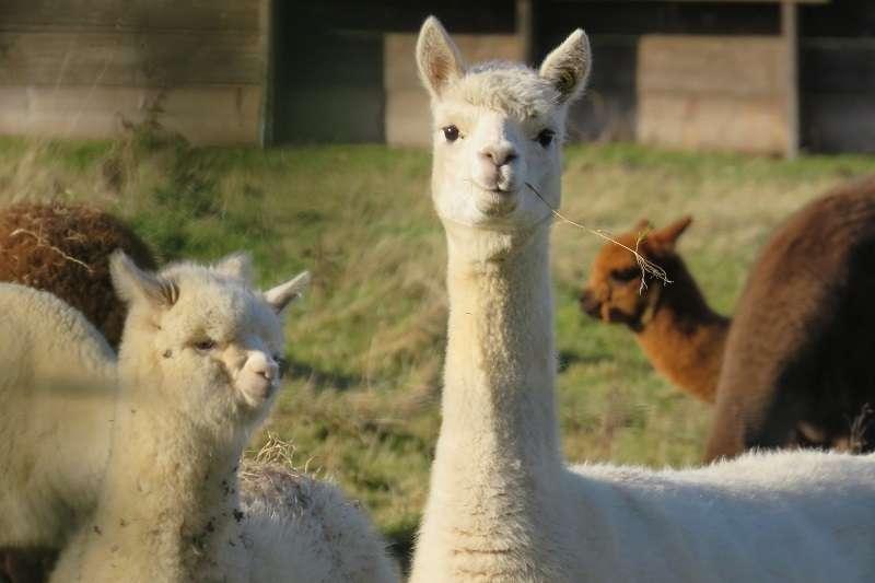 濃眉大眼的可愛小羊駝,是療癒界的寵兒,但身上的毛卻能在時尚界帶來驚天動地的影響。(圖/unsplash)