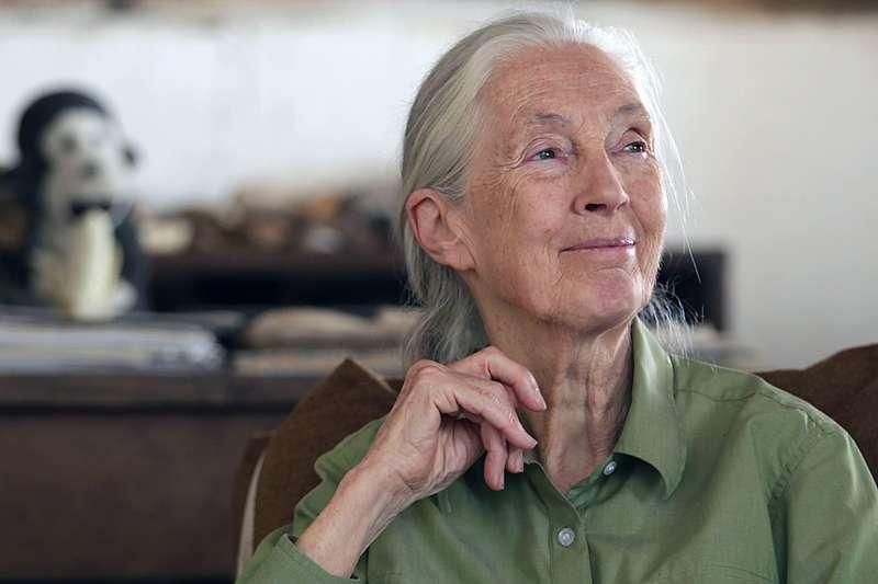 當今最重要的靈長類動物學家之一珍古德博士榮獲唐獎永續發展獎。(資料照,Frame X Frame Films提供)