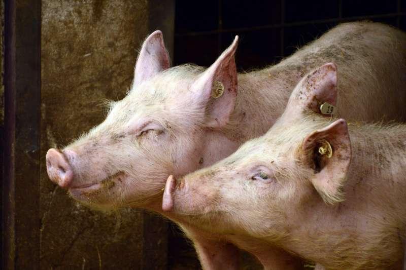 中國研究人員發現一種新型豬流感,一旦突變,可能出現人傳人,引發全球大流行。(示意圖/ Peggychoucair@pixabay)