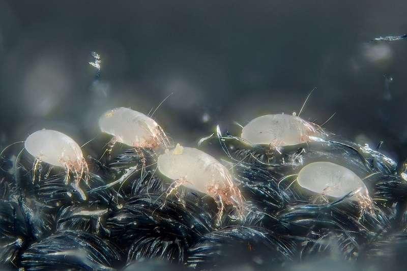 床墊,枕頭和羽絨被上常見的塵蟎。(圖/維基百科)