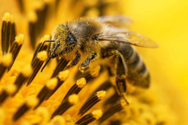 「在都市打造野地」是德國不少地方政府的環境政策,其背後的目標是透過栽種「蜜蜂友善植物」,在為城市增添綠意之餘,也提高蜂群數量。(美聯社)