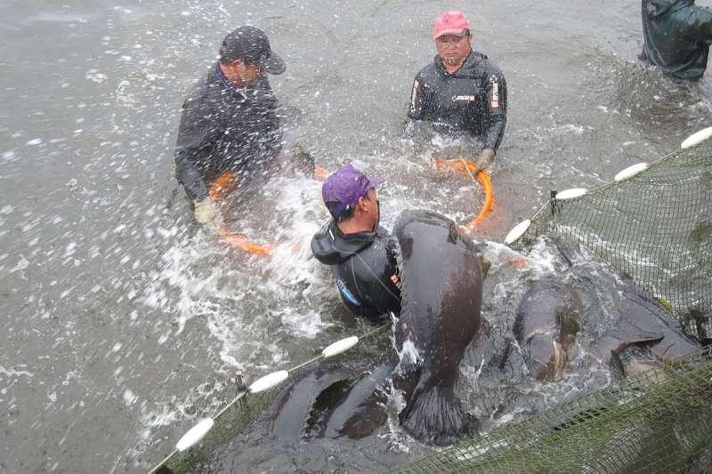 只有華人地區有需求的石斑魚必須仰賴中國市場,成為受兩岸政經局勢影響的「政治魚」。(翻攝自枋寮區漁會臉書)