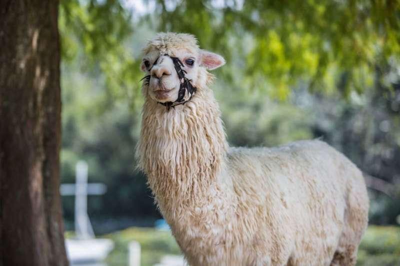 可以親自餵養大人小孩都愛的超人氣動物羊駝。(圖/桃園觀光導覽網)