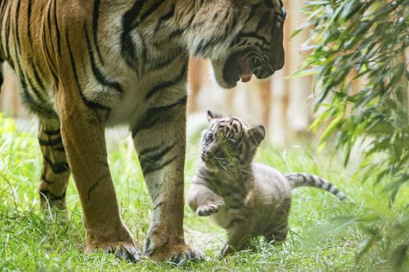 動物園內的老虎(AP)