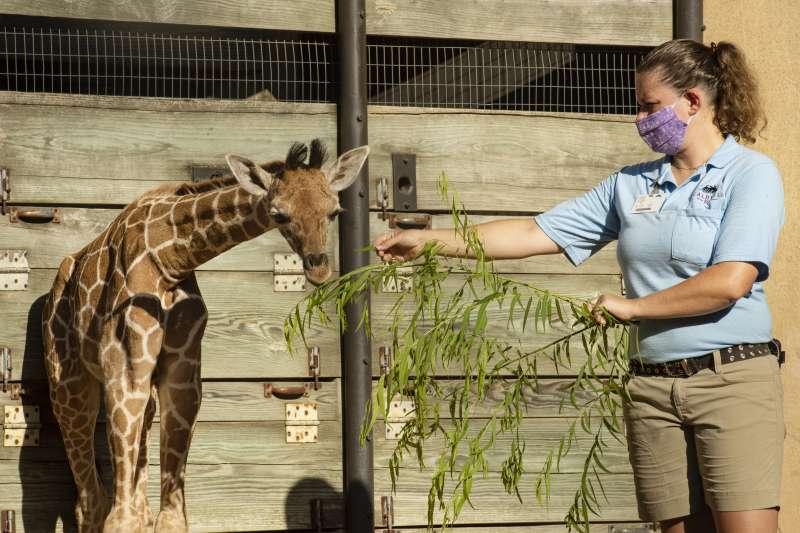 動物園內的長頸鹿和戴口罩的照護員(AP)