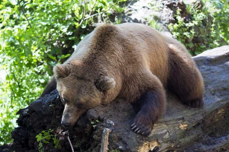 棕熊、冬眠。(Pixabay)