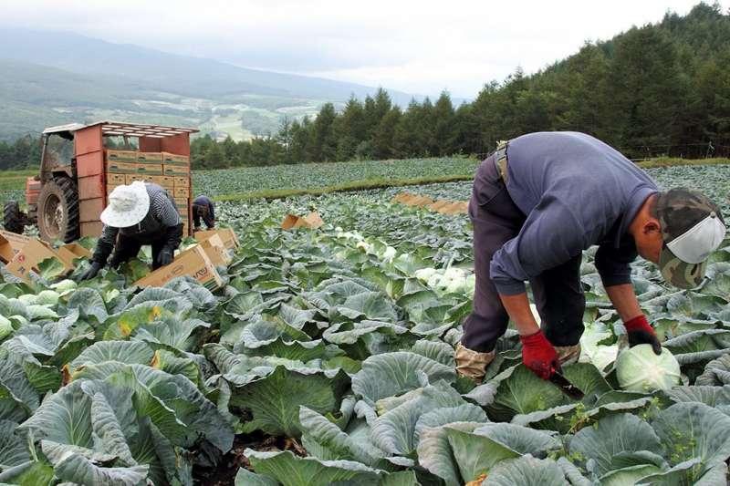 來自中國的勞工在群馬縣嬬戀高原收割高麗菜,並打包裝箱。(圖/作者提供)