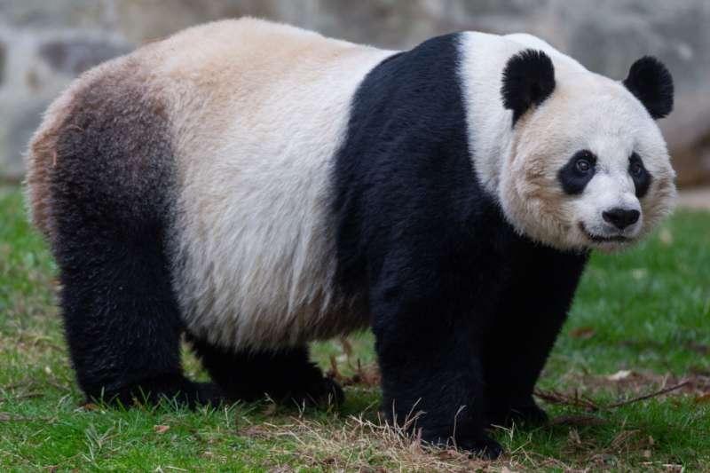 美國華盛頓國家動物園貓熊美香。(史密森尼國家動物園網站)