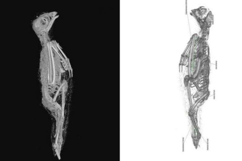 揭秘木乃伊外殼裡面的古埃及紅隼,軟組織(左)和骨骼遺骸(右)。(BBC News中文)